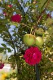 在玫瑰的苹果 免版税库存照片