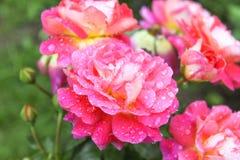 在玫瑰的雨珠在庭院里 免版税库存照片