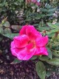在玫瑰的雨珠 图库摄影