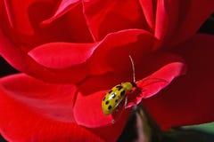 在玫瑰的黄瓜甲虫 库存图片