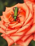 在玫瑰的绿色甲虫 库存图片