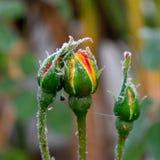 在玫瑰色芽的第一霜,与死的飞行的蜘蛛网 免版税库存照片