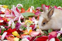 在玫瑰花瓣的兔宝宝 库存图片
