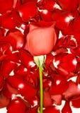 在玫瑰花瓣的红色玫瑰 免版税图库摄影