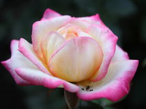 在玫瑰花瓣的蚂蚁 库存照片