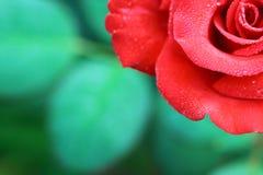 在玫瑰花瓣的露水 免版税库存照片