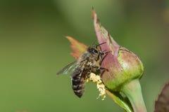 在玫瑰芽的蜂蜜蜂 免版税库存图片