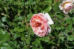 在玫瑰leafage的浅粉红色的花  库存图片