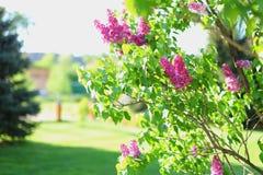 在环境美化的美好的地面的淡紫色树绽放 库存照片