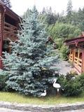 在环境美化的装饰冷杉木 免版税库存图片