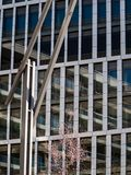 在现代办公楼前面的年轻开花的樱桃树与在晴朗天气的反射在Hafencity,汉堡 免版税库存照片