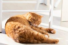 在现代家庭内部的家养的红色猫r 库存照片