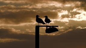 在现出轮廓的岗位,金黄日出,cala bona,马略卡,西班牙的海鸥的 库存照片