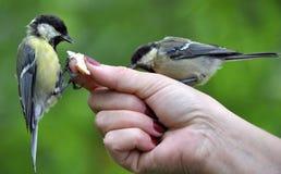 在现有量的北美山雀 免版税库存照片