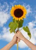 在现有量的向日葵 免版税库存照片