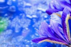 在现代中间影调与华丽的美丽如画的明亮的虹膜花,被弄脏的样式的抽象蓝色背景 精美色彩 库存照片