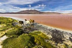 在玻利维亚的安地斯的湖和火山的附近Uyuni游览一次惊人的旅行 库存图片