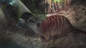 在玻璃后的滑稽的meerkats 股票视频