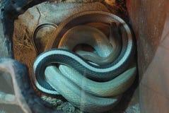在玻璃容器休息的镶边,长的蛇不干扰她 免版税图库摄影