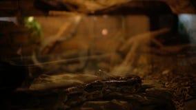 在玻璃容器大蟒蛇Linnaeus的蟒蛇 影视素材