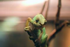 在玻璃容器的一个木分支供以座位的绿色变色蜥蜴画象 蜥蜴的面孔与软的bokeh的在一个黑暗的环境里 库存图片