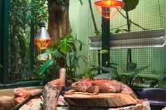 在玻璃容器的大鬣鳞蜥蜥蜴 免版税库存照片