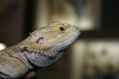 在玻璃容器的异乎寻常的逗人喜爱的蜥蜴为照相机摆在 免版税库存图片