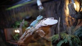 在玻璃容器的蓝色鬣鳞蜥 影视素材