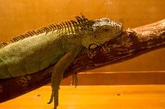 在玻璃容器的蜥蜴 免版税图库摄影