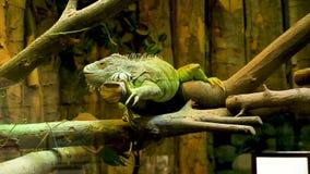 在玻璃容器的鬣鳞蜥爬行动物 股票录像