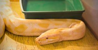 在玻璃容器的黄色大蟒蛇 免版税库存图片