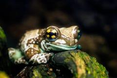 在玻璃容器Trachycephalus resinifictrix的青蛙 库存图片