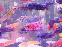 在玻璃桶的Colorfull鱼 免版税库存照片