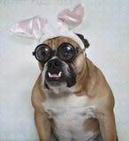 在玻璃的复活节牛头犬 免版税库存图片