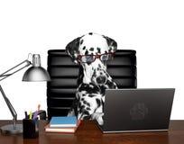 在玻璃的达尔马希亚狗完成在计算机上的一些工作 查出在白色 免版税图库摄影