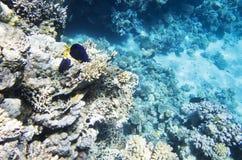 在珊瑚中的两条蓝色鱼 免版税库存照片