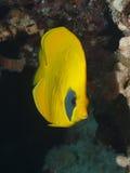 在珊瑚中的蝴蝶鱼 免版税库存照片