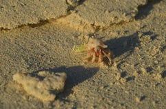 在珊瑚后的桃红色寄居蟹 免版税库存照片