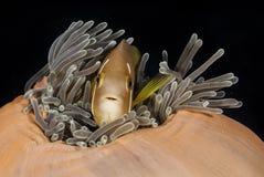 在珊瑚和植物中掩藏的被伪装的鱼在马尔代夫的水域中 免版税库存图片