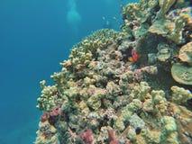 在珊瑚头的小丑鱼在大堡礁 图库摄影