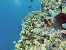 在珊瑚头的小丑鱼在大堡礁 库存图片