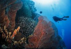 在珊瑚旁边的潜水者 免版税库存图片