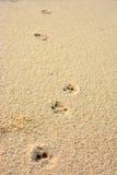 在珊瑚沙子的猫脚印 免版税库存图片