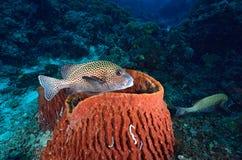 在珊瑚的丑角sweetlips 库存照片