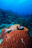 在珊瑚的丑角sweetlips 库存图片