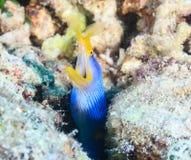在珊瑚的丝带鳗鱼 免版税库存图片