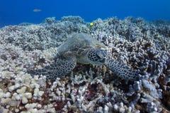在珊瑚的乌龟 免版税库存照片