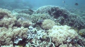 在珊瑚的方格的攫夺者Lutjanus decussatus在Apo海岛上 影视素材