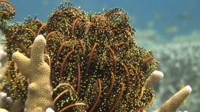 在珊瑚的海百合水下在野生生物菲律宾海洋  影视素材