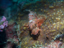 在珊瑚的石头鲈在水中 库存照片